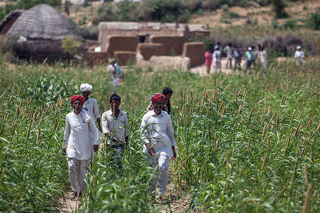04 September, 2013, Jodhpur, Rajasthan INDIA : Village elder, Gopal Singh (front right) walks through fields of the local crop Bajra towards the new road. with other men of Boongari Village, District Jodphur and speaking about  how the Pradhan Mantri Gram Sadak Yojana program (PMGSY) has made a difference to their lives in Rajasthan. The roads have allowed them to move in medical supplies and increased the village income by more efficiently getting crops to market. It also means the women don't have to hand mill the grain but can transport it to a local mill. PMGSY is a nationwide plan in India to provide good all-weather road connectivity to unconnected villages.<br /> It is under the authority of the Ministry of Rural Development and was begun on 25 December 2000 It is fully funded by the central government and implemented in conjunction with the World Bank<br /> The goal was to provide roads to all villages  with a population of 500 persons and above by 2007, in hill states, tribal and desert area villages with a population of 250 persons and above by 2007. Picture by Graham Crouch/World Bank