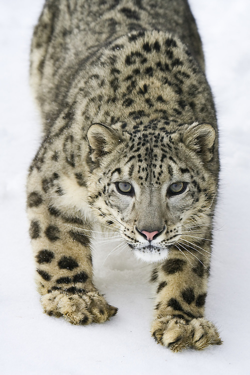 Snow Leopard (panthera uncia) watching intently from the down-side of a snowy hill near Kalispell, Montana, USA - Captive Animal