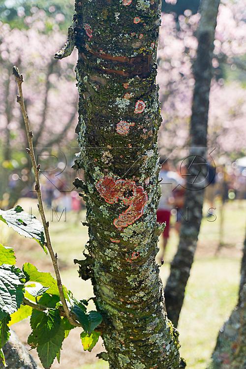 Detalhe no tronco com líquen no Bosque das Cerejeiras. Festa das Cerejeiras em Flor do Parque do Carmo - bairro Itaquera, São Paulo - SP, 08/2016.