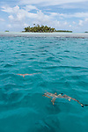 Blue Lagoon, Rangiroa Atoll, Tuamotu Archipelago, French Polynesia; blacktip reef sharks swimming in the shallow water just outside the blue lagoon, near a palm tree covered island
