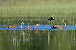 Swimming sandhill cranes being attacked by a male red-winged blackbird