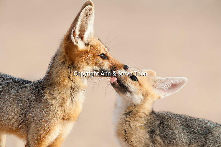 Cape fox with cubs, Vulpes chama, Kgalagadi Transfrontier Park, Northern Cape, South Africa