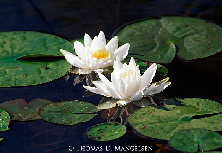 Fragrant Water Lily on Seeley Lake in Montana