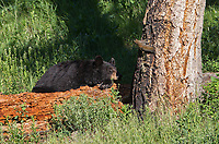 A red squirrel peeks in on a napping black bear in Yellowstone.