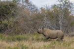 Black Rhinoceros (Diceros bicornis) female in bushveld, Greater Makalali Private Game Reserve, South Africa