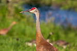 Close up of a sandhill crane.