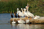 White Pelican Yawn, Pelicans and Cormorants, American White Pelican, Sepulveda Wildlife Refuge, Southern California