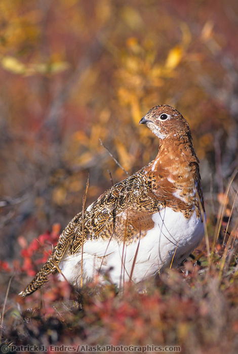 Willow Ptarmigan, autumn, Denali National Park, Alaska