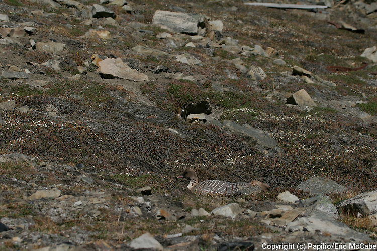Pink Footed Goose on nest, Anser brachyrhynchus, Longyearbyen, Spitzbergen. 28/06/2005.