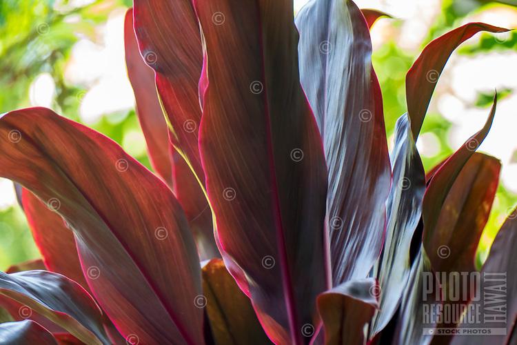 Close-up of red ti leaves at at Hawaii Tropical Botanical Garden near Onomea Bay in Papa'ikou near Hilo, Big Island of Hawai'i.