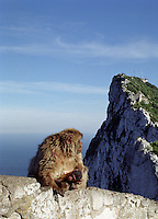 From an elevated vantage point on the climb up the rock of Gibraltar, Mother and child Barbary Apes, seen from the lookout point.