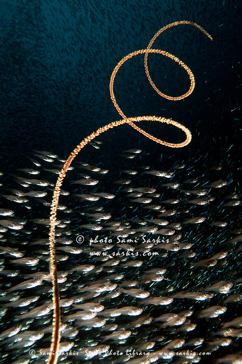 School of Cardinalfish (Rhabdamia cypselura) swimming past a Giant Black Sea Whip (Cirrhipathes), Nose Point, Maldives/