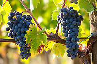 Brunello grapes, Sangiovese, growing on vine at the wine estate of La Fornace at Montalcino in Val D'Orcia, Tuscany, Italy RESERVED USE - NOT FOR DOWNLOAD - FOR USE CONTACT TIM GRAHAM