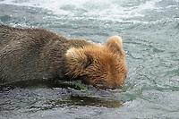 Brown bear (grizzly bear) snorkeling in the Brooks River, looking for salmon. Katmai National Park, Alaska, Ursus arctos middendorffi, Alaska, USA