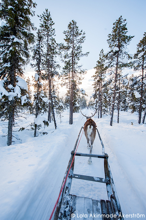 Reindeer sledding through boreal forests