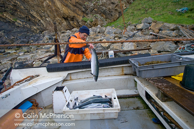 Simon Paterson unloading wild Atlantic salmon from his boat at Strathy fishing station in the far north of Scotland. Mr Paterson is a third-generation salmon fisherman whose family has fished in Sutherland for over 40 years. This season is to be his last as the Government has decided not to renew the lease on the last publicly-owned fishery in Scotland.
