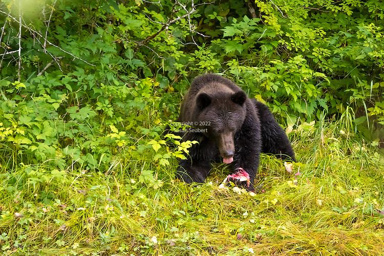 A brown bear at Lake Eva, Baranof Island, Inside Passage, Alaska, USA