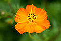 Cosmos sulphureus, early August. Common names include orange cosmos, yellow cosmos, sulphur cosmos, and Klondike cosmos. Native to Mexico.