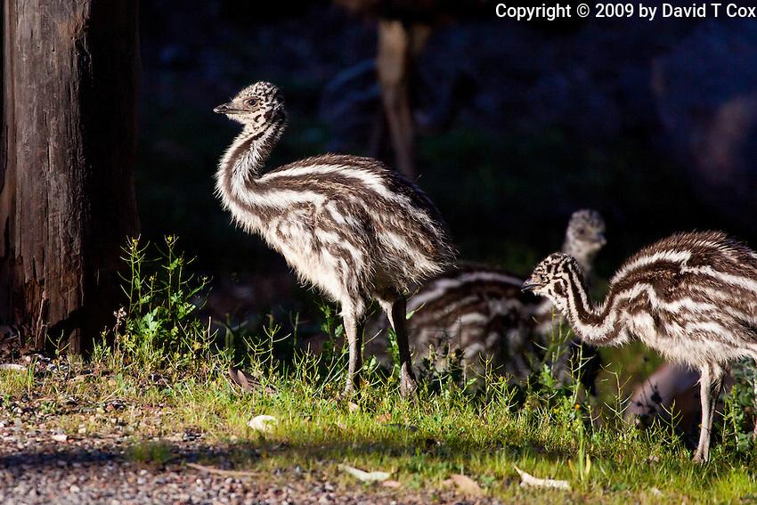Emu chick, Wilpena Pound, Flinders Range, SA, Australia