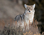 Montana & Wyoming Coyote Photos