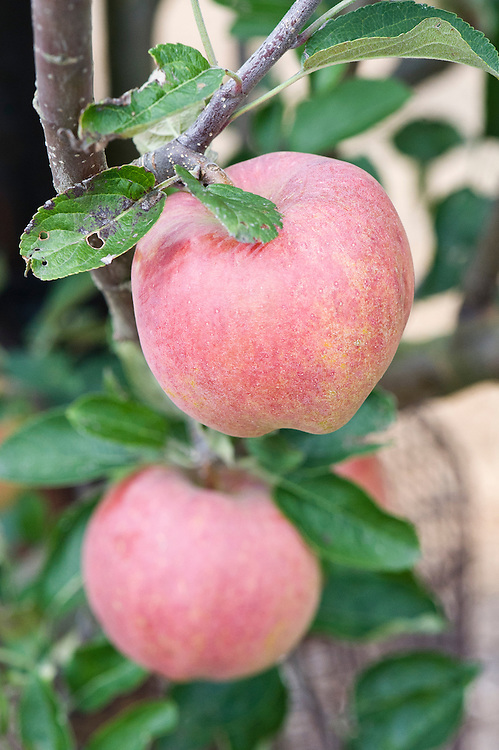 Apple 'Delicious', early September. Originally from Iowa in the 1870s when it was known as 'Hawkeye'. Renamed and reintroduced in 1895 by Stark Bros, Missouri.