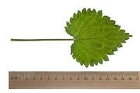 Brennnessel, Große Brennnessel, Brennessel, Urtica dioica, Stinging Nettle, common nettle, nettle, nettle leaf, La grande ortie, ortie dioïque, ortie commune. Blatt, Blätter, leaf, leaves