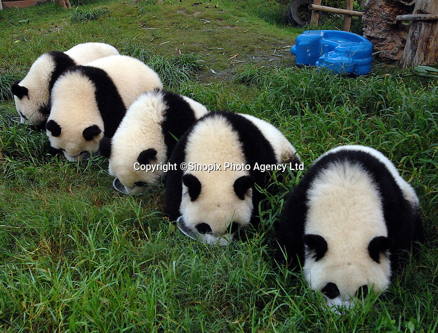 Captive panda breeding has been such a success in recent years that the centres are undergoing a rapid and aggressive expansion to prevent crowding.Chengdu Giant Panda Breeding and Research Base, China...