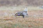 Male sharp-tailed grouse dancing on a lek in Namekagon Barrens (Danbury, Wisconsin).