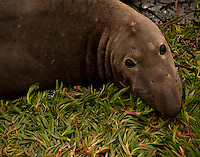 Young male Elephant Seal at a colony in Big Sur.