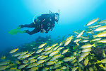 Great Barrier Reef, Australia; a scuba diver swimming over an aggregation of yellow colored snapper fish