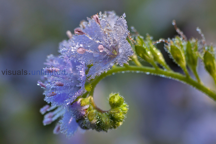 Dew covered Fringed Phacelia Flowers.