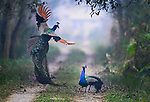Two peacocks fight by Nilesh Patel