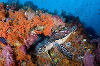 Hawksbill sea turtle, Eretmochelys imbricata, Misool area, Raja Ampat, Indonesia,