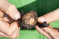 Kind schält Walnuss, äußere Schale wird von der Nuss abgeschält, Walnuss, Walnuß, Wal-Nuss, Wal-Nuß, Reife Früchte, Nüsse, Walnüsse, Ernte, Juglans regia, Walnut, Noyer commun