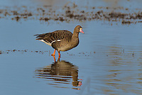 537260015 a wild  greater white-fronted goose anser albifrons at colusa national wildlife refuge califonia
