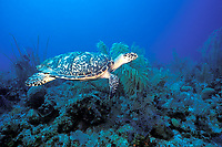Hawksbill turtle, Eretmochelys imbricata, French Cay, Turks and Caicos, Caribbean, Islands (Atlantic)