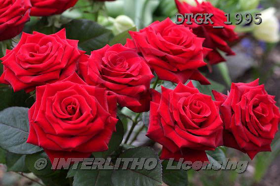 Gisela, FLOWERS, photos+++++,DTGK1995,#f#