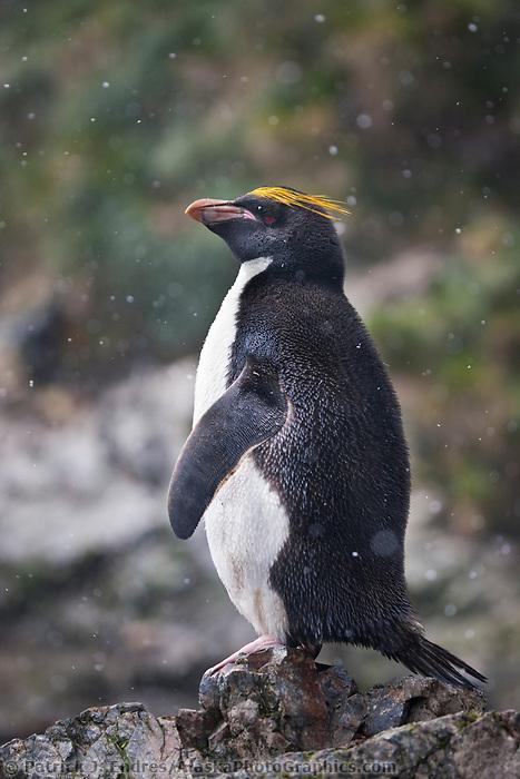 Macaroni penguins at Hercules Bay, South Georgia Island.