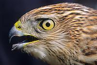 Sharp-shinned Hawk, juvenile. Cape May, New Jersey