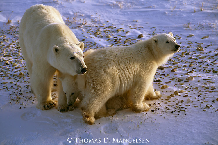 A polar bear mother watches over her two cubs in Churchill, Manitoba, Canada.