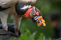 Adult King Vulture (Sarcoramphus papa) feeding at a carcass. Laguna del Lagarto, Boca Tapada, Caribbean slope, Costa Rica, Central America.