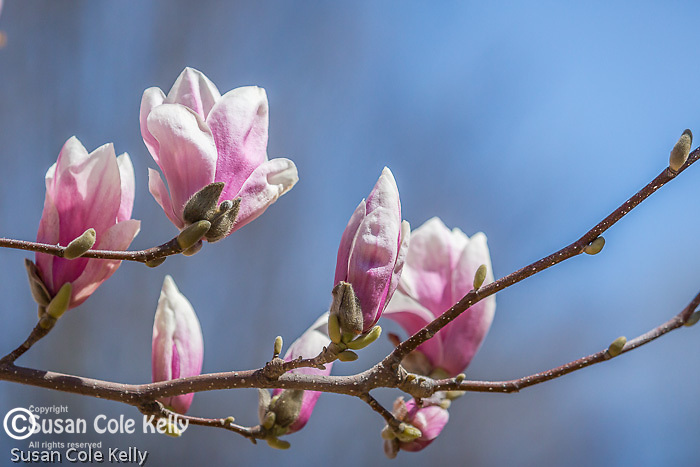 Magnolias in Cambridge, Massachusetts, USA