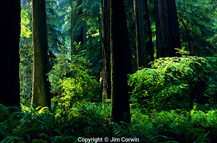 Giant Redwoods with ferns and ground cover Stout Grove Smith Redwoods State Park Northern California USA