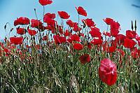 Poppy fields for ever