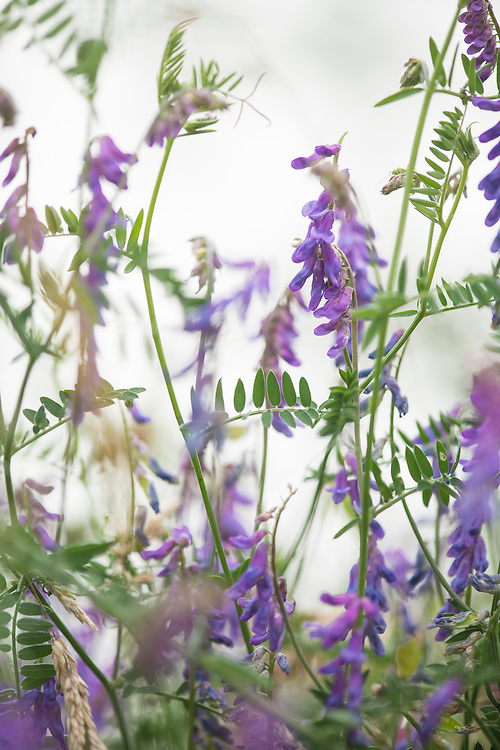 Tufted vetch, Vicia cracca, in restored meadow around the Millenium seedbank. Wakehurst Place - Royal Botanic Gardens, Kew. Ardingly, West Sussex, UK.