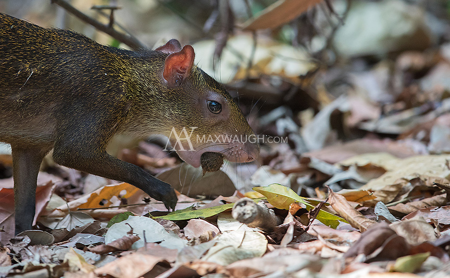 Agoutis are a common site during my Costa Rica trips, especially on the Pacific side of the country.