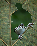 """Pictured: The frog peering through a hole in the leaf<br /> <br /> This curious frog peers through a hole in a giant leaf. Photographer Tanton Yensen captured the inquisitive reptile in Jakarta, Indonesia. <br /> <br /> Tanton Yensen from Jakarta, Indonesia said """"The milk frog jumped up to the leaf and for a second looked like it was playing hide and seek with me."""" <br /> <br /> Please byline: Tanto Yensen /Solent News<br /> <br /> © Tanto Yensen /Solent News & Photo Agency<br /> UK +44 (0) 2380 458800"""