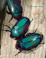1C37-531z  Flower Beetle, Smaragdesthes africana oertzeni, Afirca