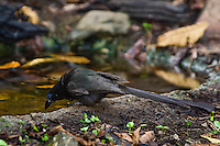The usually arboreal Racket-tailed Treepie (Crypsirina temia) occasionally comes to the forest floor to drink or bathe. (Kaeng Krachan, Thailand).