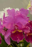 Sophrocattleya aka Laeliocattleya Quo-Vadis 'Floralia' Orchid